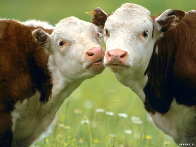 Ткачев пообещал накормить Россию отечественным молоком и мясом к 2020 году
