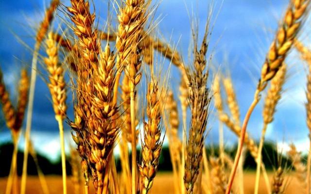 Рост цен на зерно в 2017 году в России