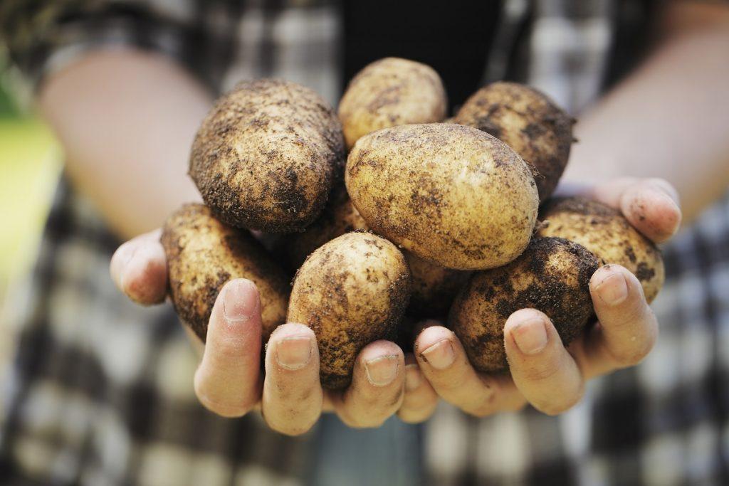 Прогноз цен на картофель в 2019 году в России